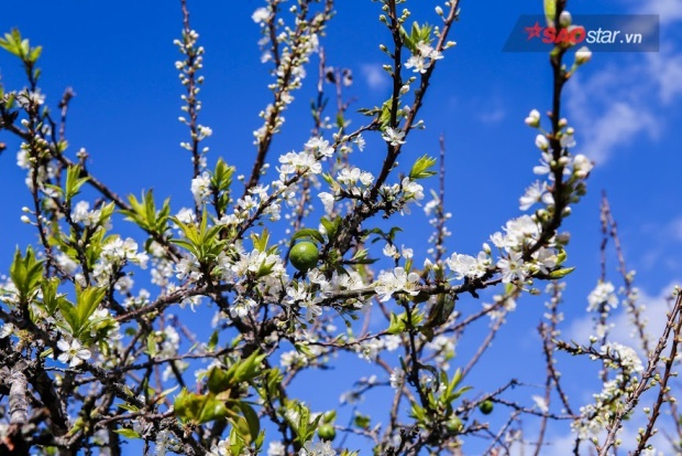 Thoạt nhìn, hoa mận sẽ hơi giống với hoa đào rừng, thế nhưng nếu nhìn kỹ bạn sẽ thấy hoa mận nở thành chùm dày, cánh hoa mỏng ôm trọn lấy nhụy vàng.