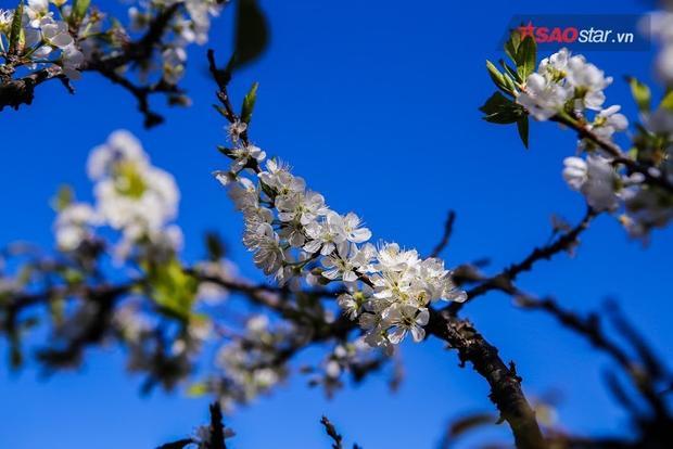 Hoa mận được ví như một thiếu nữ Tây Bắc đang ở độ xuân sắc, mong manh, nhẹ nhàng mà khó chạm đến bởi gió mạnh sẽ cuốn theo cánh hoa.