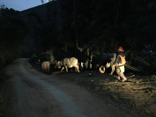 Một số hộ dân lùa trâu trên núi về nhà tránh rét.