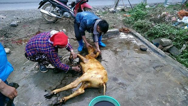 Trời rét khiến nhiều con trâu bị chết.