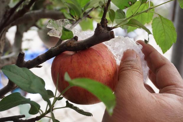 Những quả táo này được bọc rất cẩn thận để tránh va đập rơi rụng.