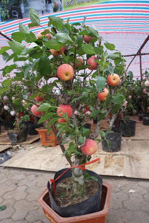Cây táo này có giá khoảng 3 triệu đồng, quả có thể chơi được vài tháng.