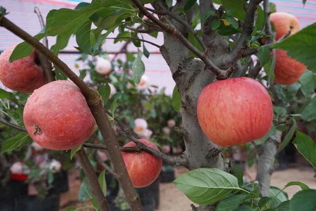 Táo bonsai Trung Quốc có màu sắc bắt mắt.