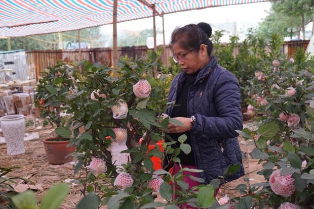 Tại một vườn táo bonsai Trung Quốc cũng bày bán hàng trăm cây trên đường Lạc Long Quân.