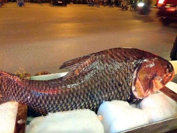 Con cá hô có mặt tại Hà Nội nặng gần 70kg được đánh bắt trên sông Mê Kông. Ảnh: Dân Việt.