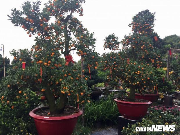 2 cây quất giá 42 triệu trên vỉa hè Sài Gòn.