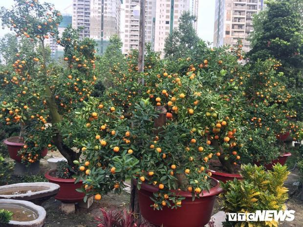Tuy giá khá cao nhưng người dân vẫn chọn mua vì độ độc đáo, đẹp mắt của loại cây này.