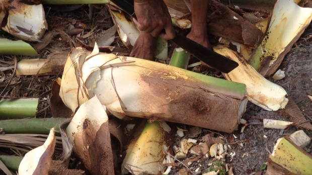 """Muốn có củ hũ dừa phải 1″hi sinh"""" cả cây dừa."""