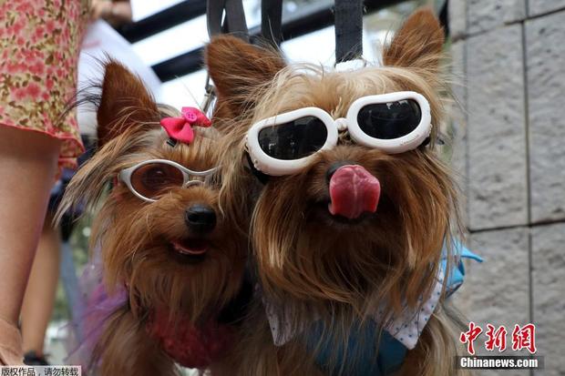 Những chú chó được thắt nơ, đeo kính đi dự lễ Valentine ở Peru.