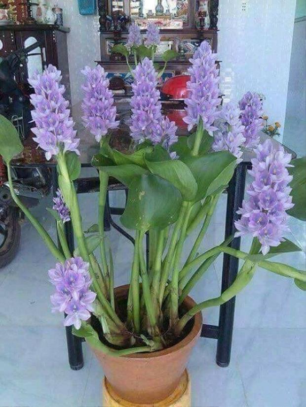 Còn loài hoa nào đẹp hơn hoa lục bình?