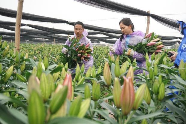 Vợ chồng chị Lan đang tất bật thu hoạch hoa ly.