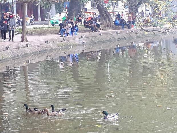 Theo ghi nhận, khu vực Hồ Gươm xuất hiện một đàn vịt trời gồm có 5 con với kích thước nhỏ hơn so với các loại vịt thông thường. Theo quan sát, 5 con vịt trời này rất nhanh nhẹn, bơi rất nhanh.