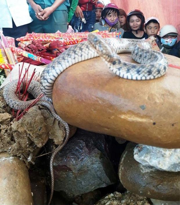 """Cặp rắn mẹ con mà người dân cho là """"rắn thần"""" xuất hiện trên mộ vô danh. Ảnh: Báo Người Lao Động"""