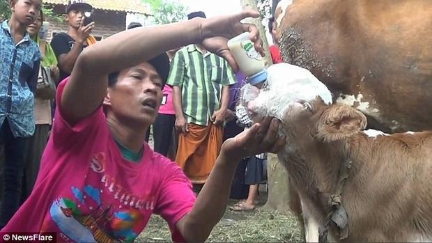 Người dân còn cho con bê uống sữa.