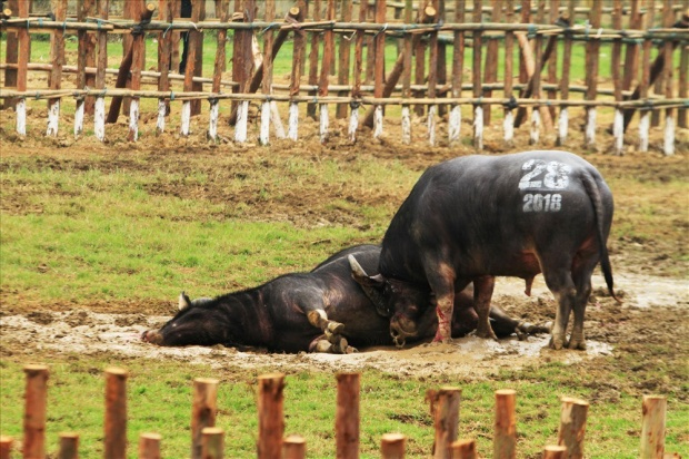 Năm nay, chủ nhân của trâu thua cuộc có quyền không giết thịt chúng.