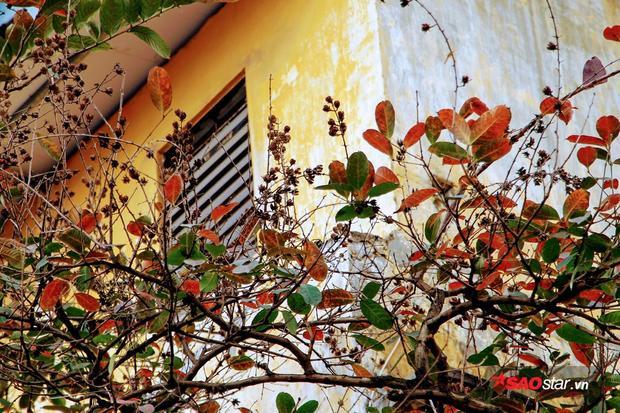 Giữa mùa xuân nhưng cây lá lại đỏ úa.