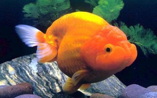 Clip: Đàn cá vàng mập núc ních đang bơi tung tăng khiến dân mạng đặt câu hỏi: Đây là cá heo à?