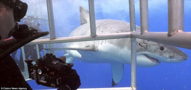 Con câ mập trắng dài 4.2m đã thoát khỏi lồng an toàn nhờ sự giúp đỡ của Eli.