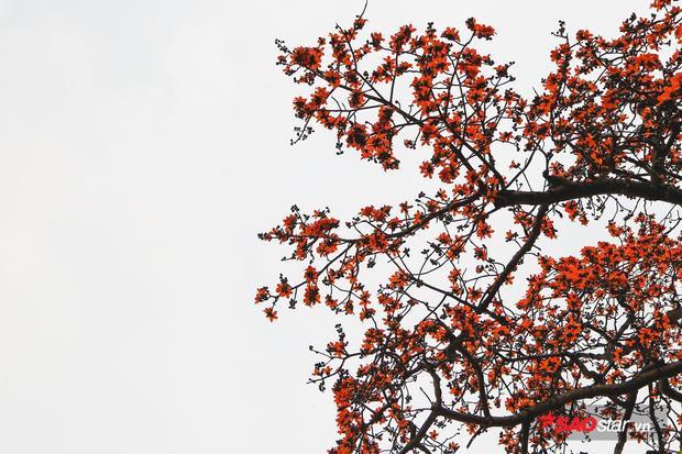 Mùa hoa gạo nở, nhìn từ xa, tán cây như một bông hoa khổng lồ.
