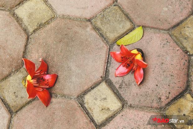 Nhiều bông khi rụng xuống vẫn còn nguyên vẹn, chưa bị héo, dập nát.