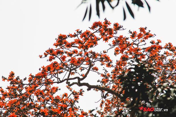 Cây gạo trong mùa ra hoa nhìn từ xa giống như được tạo thành bởi những đốm lửa nhỏ.