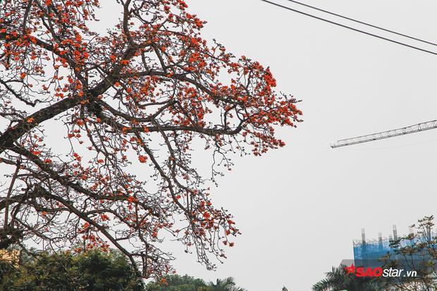 Lài cây này hiện nay được trồng rộng rãi ở các bang của Malaysia, Indonesia, miền nam Trung Quốc, Đài Loan và Việt Nam.