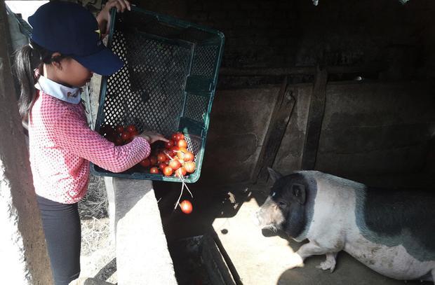 Nông dân đem cà chua chín đổ cho lợn ăn.Ảnh: Tuổi trẻ.