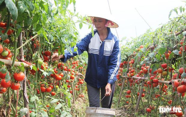 Những ô ruộng rực màu đỏ của cà chua chín. Ảnh: Tuổi trẻ.