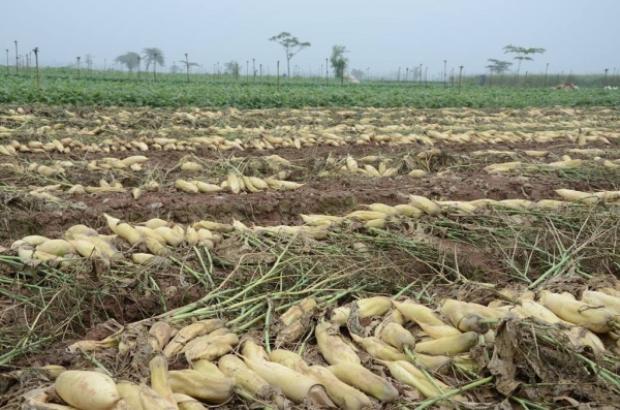 Cả ruộng củ cải trắng ngần không ai buồn tới thu mua. Nông dân đành bỏ mặc, kệ cho chúng mục nát.