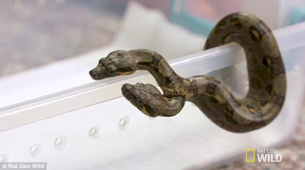 Chú rắn Xiêm 2 đầu. Ảnh Nat Geo Wild