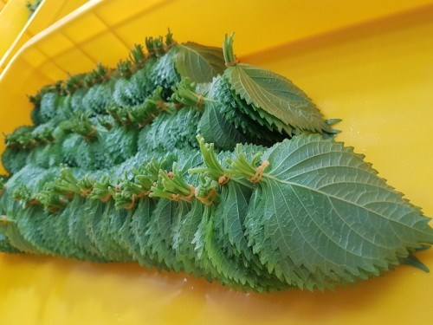 Nếu ở Việt Nam, ra chợ mua cả mớ tía tô chỉ với giá 1-2 nghìn đồng thì tại Nhật Bản, tía tô được bán theo từng lá và mỗi lá có giá từ 500-700 nghìn đồng.