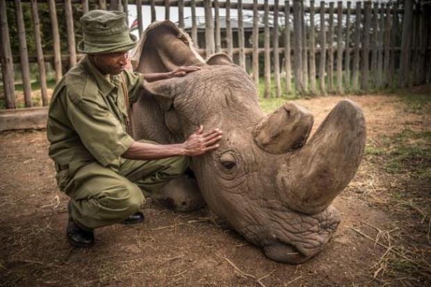 Cán bộ bảo vệ động vật hoang dã Zacharia Mutai vỗ về Sudan, tê giác trắng Bắc Phi đực cuối cùng trên thế giới, chỉ ít phút trước khi nó qua đời tại khu bảo tồn Ol Pejeta ở Kenya ngày 19/3. Ảnh:National Geographic