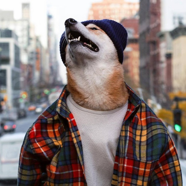 Nhờ thần thái quá xuất sắc, chú chó Shiba này đã kiếm hơn trăm triệu một tháng!