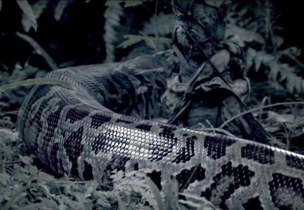 Với trọng lượng cơ thể này, con trăn gấm có khả năng nuốt trọn một con cá sấu trưởng thành.Ảnh: Mirror
