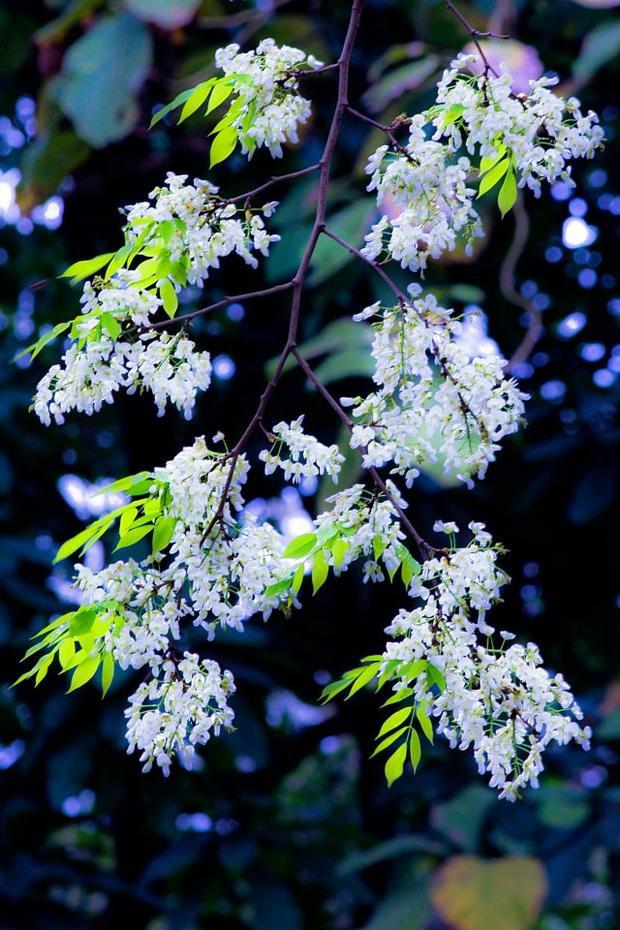 Đến Hà Nội vào một ngày hoa sưa bung nở, đắm chìm giữa đất trời hoa sưa trắng muốt, bao nhiêu phiền muộn trong lòng như dần tan biến.