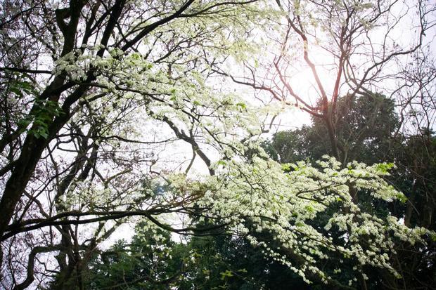 Ai tình cờ đặt chân đến các con đường Phan Đình Phùng, Điện Biên Phủ, Hoàng Hoa Thám, góc đường Ngô Quyền - Lê Thạch, Vườn hoa Lý Thái Tổ hay KTX Mễ Trì… đều không muốn về. Dưới những tán hoa trắng muốt, xen lẫn màu lá xanh khiến người dù có khô khan nhất cũng phải mềm lòng.