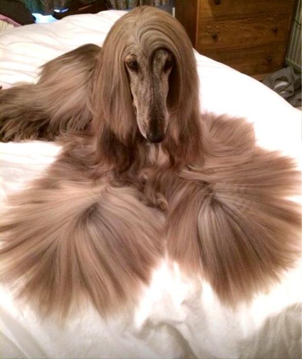 Iraida, 5 tuổi, thuộc giống chó săn Afghanistan lông dài và được coi là chú chó sang chảnh bậc nhất thế giới. Iraida bắt đầu làm mẫu ảnh kể từ khi chỉ là một chú chó con và có cả công ty đứng ra đại diện.