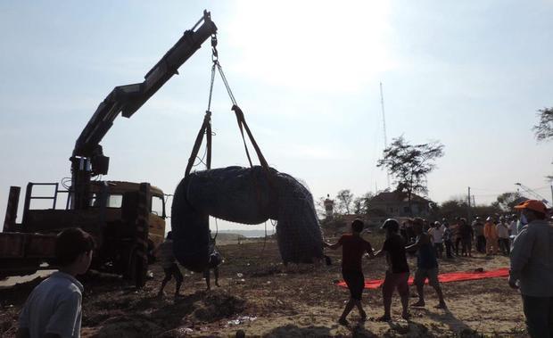 Để đưa cá voi xuống huyệt mộ phải dùng xe cơ giới để tải.