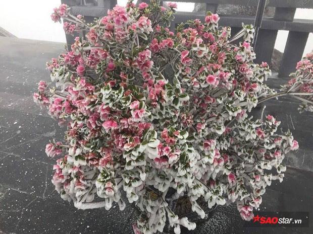 Chỉ sau 1 đêm, cây hoa đỗ quyên bỗng biến thành hoa tuyết.
