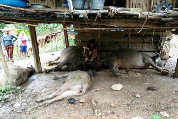 Những con trâu của người dân bị sét đánh chết - (ảnh Khánh Linh).