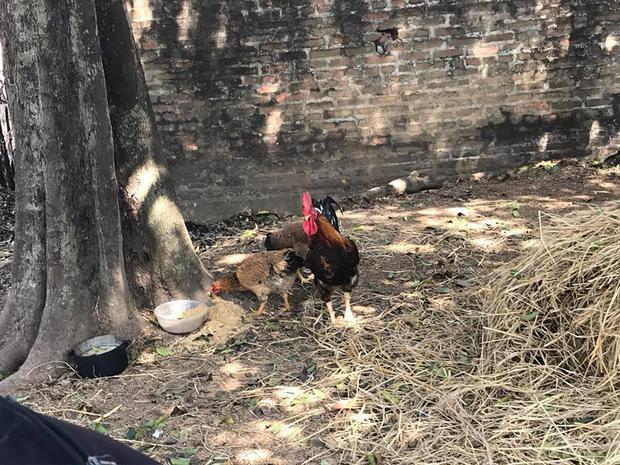 Hai con gà ông Sơn mua về để chuẩn bị làm đám giỗ.