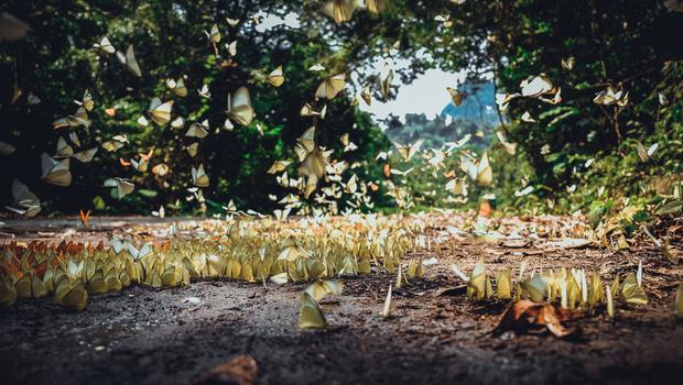 Vào khoảng thời gian này, Cúc Phương đang vào mùa bướm bay rợp trời khiến khung cảnh nơi đây huyền ảo như tiên cảnh, đẹp ngẩn ngơ như trong mơ.