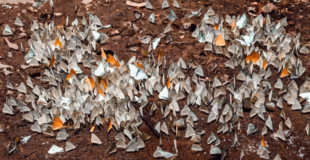 Thời tiết mát mẻ và sau những cơn mưa xuân, Vườn quốc gia Cúc Phương xuất hiện hàng nghìn con bướm đủ màu sắc bay lượn.
