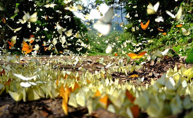 Vào đến giữa rừng, từng đàn bướm tụ lại bên những bãi đất. Càng vào sâu bên trong, khi con đường đến cây chò ngàn năm chỉ còn chừng vài kilômet, bướm xuất hiện càng nhiều. Khi có bước chân người đến, hàng trăm cánh bướm đủ màu sắc bay lên trong nắng.