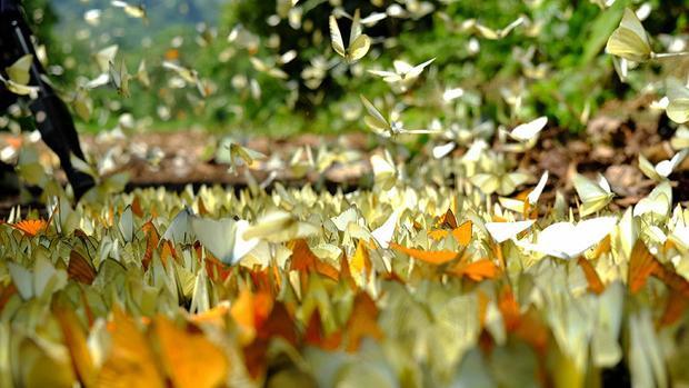 Cúc Phương có tới gần 400 loài bướm ngày, thuộc đủ các họ. Từ sáng sớm đến chiều tối, hàng ngàn cánh bướm thường bay ra khỏi những tán cây rừng rậm rạp để sưởi nắng.