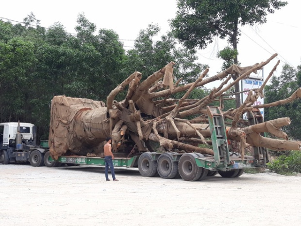 """Xe đầu kéo chở cây """"quái thú"""" đi được một đoạn 2 km thì dừng lại. Ảnh: Điền Quang."""