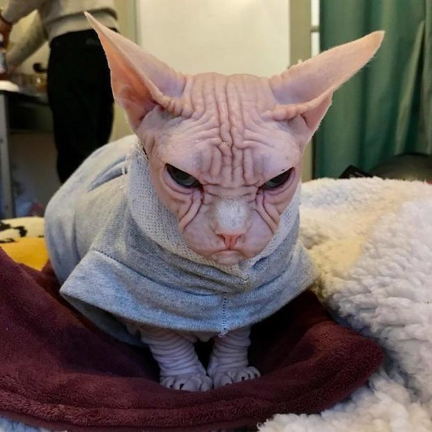 Loki thuộc giống mèo Sphinx hay còn gọi là mèo không lông Sphinx. Cái tên Sphinx được đặt theo tượng nhân sư (Sphinx) ở Ai Cập, vì loài mèo này có ngoại hình khá giống nhân sư trong truyền thuyết. Đây là một giống mèo được phát triển vào thập niên 1960 với đặc điểm cơ thân thể trần trụi, không có sợi lông nào, và là giống mèo đột biến tự nhiên, không qua cấy ghép.