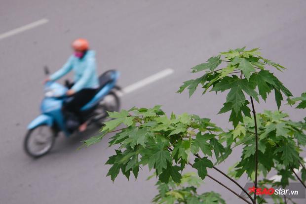Loài cây đặc trung của châu Âu phát triển tốt trong điều kiện khí hậu ở Hà Nội.