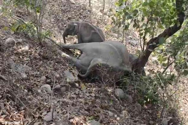 Phát hiện ra thi thể mẹ, chú voi quyết định không rời nửa bước.Chú voi dùng hết sức mình lay thi thể voi mẹ với hy vọng mẹ sẽ tỉnh lại.