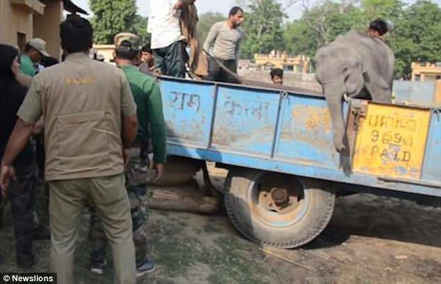 Sau nhiều giờ nỗ lực, cuối cùng đã giải thoát chú voi con thành công.